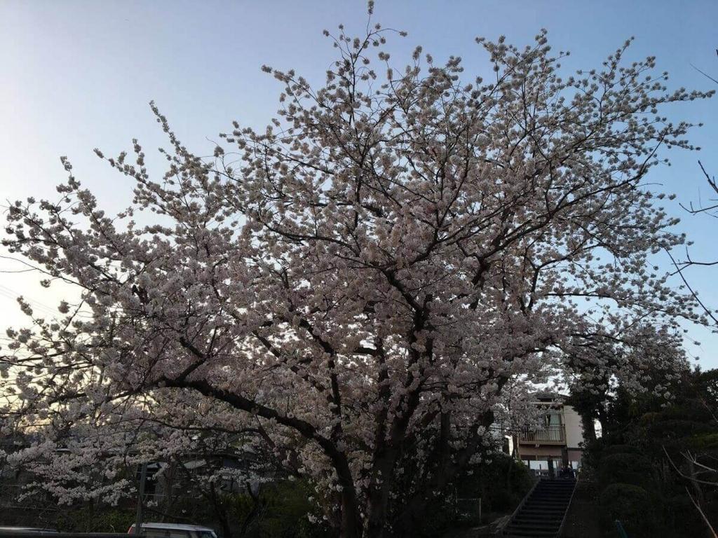 茅ヶ崎 花見 公園 スポット 名所 穴場